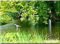 TQ8038 : Mallard on the moat by Graham Horn