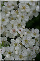 SK0353 : Hawthorn blossom by David Lally