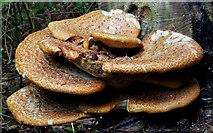 J4681 : Fungus, Crawfordsburn 2011-1 by Albert Bridge