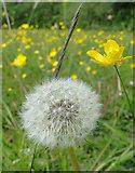 TG1807 : Dandelion clock in a wild flower meadow by Adrian S Pye