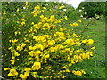 SU3834 : Broom (Cytisus scoparius) by Maigheach-gheal