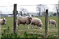 NN9410 : Grazing Sheep by Martin Addison