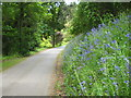 SW9742 : Bluebells beside the main drive on Caerhays Estate by Rod Allday