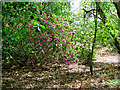 TG4600 : Flowering rhododendron in Fritton Warren by Evelyn Simak