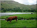 NY3915 : A bull at Patterdale by Karl and Ali