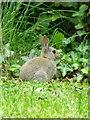 ST9500 : Rabbit (Oryctolagus cuniculus), White Mill by Maigheach-gheal