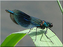 TG1807 : Damselfly by the River Yare by Adrian S Pye