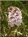 SS8421 : Orchid, Knowstone Outer Moor by Derek Harper