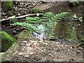 SJ8959 : Fern by the stream by Jonathan Kington