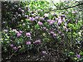 SJ9059 : Rhododendron bush by Jonathan Kington
