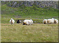 NG2738 : Feral sheep on Harlosh Island by John Allan