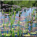 NR8786 : Reeds and lily pads by Patrick Mackie