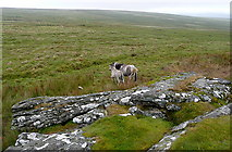SX5686 : Ponies at Green Tor by Graham Horn