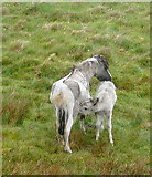 SX5686 : Pony and foal at Green Tor by Graham Horn