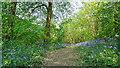 TM2031 : Bluebells in Copperas Wood by Roger Jones