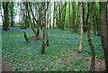 TQ8132 : Bluebells, Strawberry Wood by N Chadwick