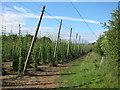 TQ8128 : Hoad's Farm hop garden by Oast House Archive