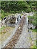 SH5947 : Stray sheep on the railway track at Bryn-y-Felin Bridge by David Tyers
