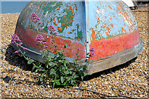TR3752 : Wild Flower on a Pebbly Beach, Deal by Cameraman