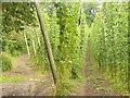 SU9247 : Hop Growing, Puttenham by Colin Smith