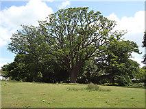 TQ4094 : Oak near Oak Hall by Roger Jones