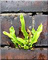 SJ8446 : Hart's-Tongue fern by Jonathan Kington