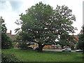 TQ4296 : School oak by Roger Jones