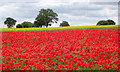 SO8396 : Poppy field near Seisdon, Staffordshire by Roger  Kidd