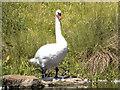 NZ1860 : Swan, Clockburn Lake by David Dixon