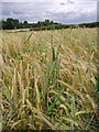 SO7992 : Cereal crops near Claverley, Shropshire by Roger  Kidd