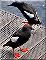 J3474 : Black guillemots, River Lagan, Belfast (2) by Albert Bridge