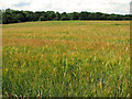 TM4579 : Strip woodland and ripening barley, Uggeshall by Evelyn Simak