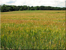 TM4579 : Strip woodland and ripening barley, Uggeshall by Evelyn Simak