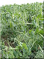 TM3872 : Pea Crop at Earlsway Farm by Adrian Cable