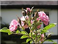 SP2068 : 'Pink Grootendorst' rose at Foxbrook Cottage by Robin Stott