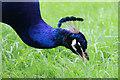 TQ1876 : Peacock feeding, Kew Gardens, London by Christine Matthews