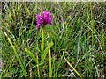 B8446 : Purple orchid, Tory Island by Kenneth  Allen