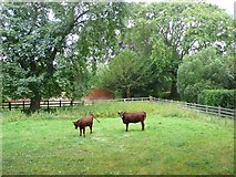 SP3453 : Cows at Chadshunt Church by Nigel Mykura