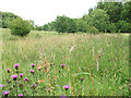 TQ5538 : Knapweed in a meadow by Stephen Craven