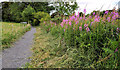 J3268 : Rosebay willowherb near the Giant's Ring, Belfast by Albert Bridge