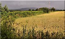 J3267 : Barley field near the Giant's Ring, Belfast by Albert Bridge
