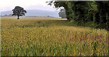 J3267 : Barley field, the Giant's Ring, Belfast by Albert Bridge