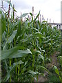 TM1640 : Maize Crop at Wherstead Hall Farm by Adrian Cable