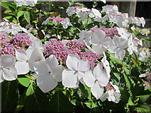 TQ6927 : White Hydrangea by Oast House Archive