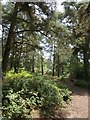 SY0384 : Pines, East Budleigh Common by Derek Harper