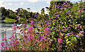 J2764 : Willowherb and buddleia, Lisburn by Albert Bridge