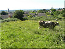 ST5038 : Cows by Glastonbury by Colin Bews