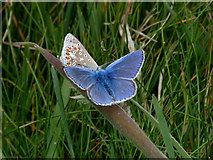 ND1071 : Common Blue butterflies at Holborn Head by sylvia duckworth