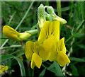 SJ8956 : Meadow Vetchling flower by Jonathan Kington