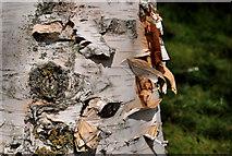 J3371 : Birch bark, Belfast by Albert Bridge
